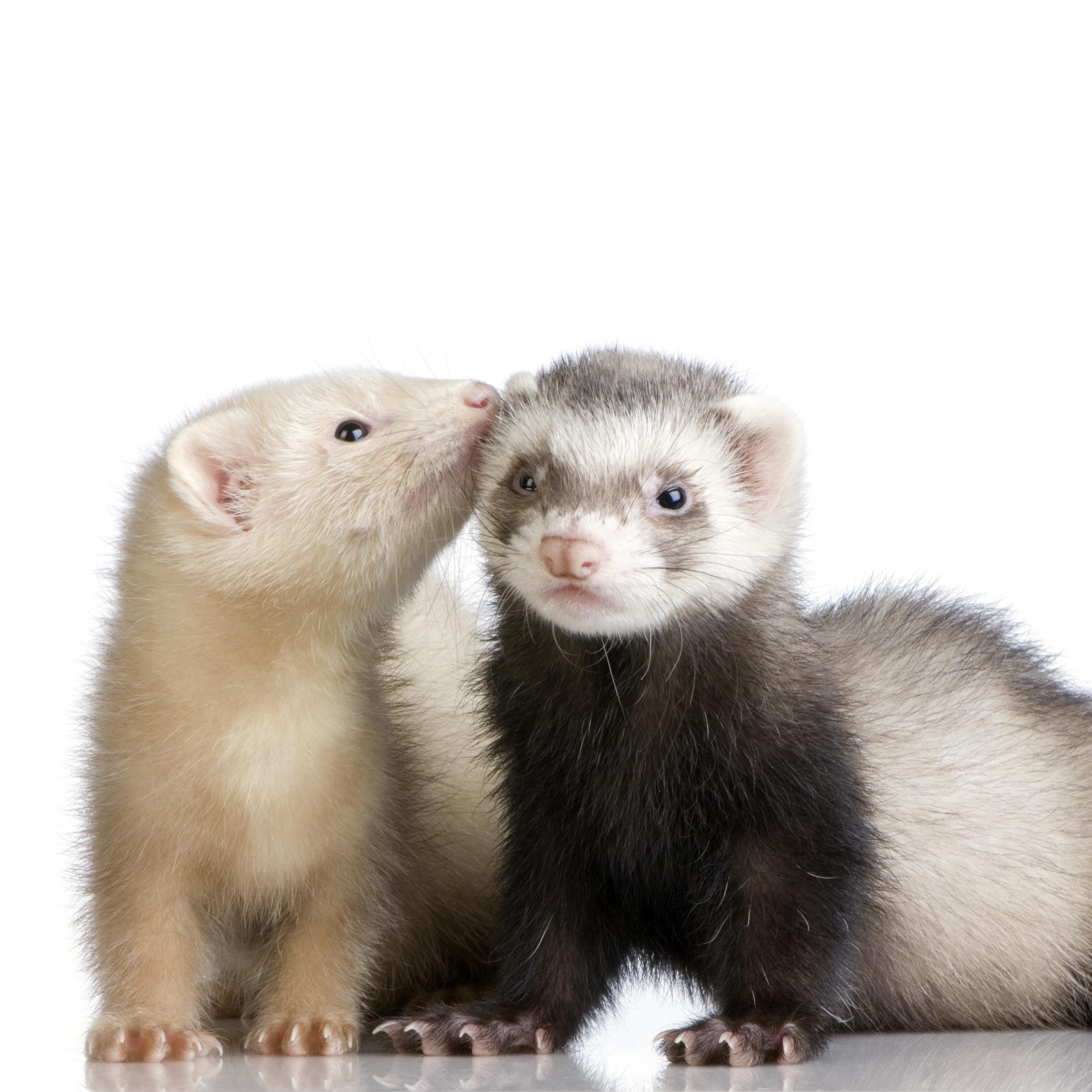 adopter un rat ou furet en animal de compagnie selfassurance. Black Bedroom Furniture Sets. Home Design Ideas